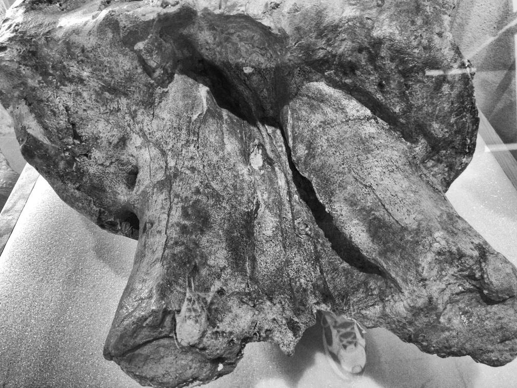 Crâne de Mastodonte d'Auvergne